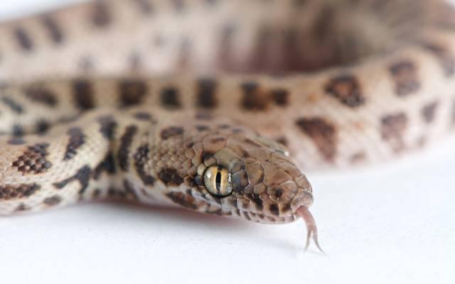 Panico a bordo per un serpente costretti ad atterraggio - Trappole per serpenti ...