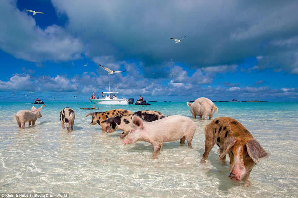 25751E2600000578-2944893-The_pigs_are_remarkably_well_adapted_to_their_beach_bum_lifestyl-a-16_1423432805340