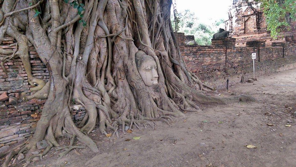 sacra testa del Buddha albero