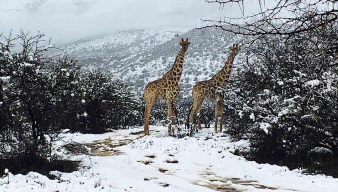 giraffe neve sudafrica